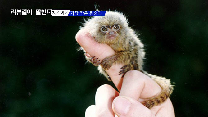 세계에서 가장 작은 원숭이 (피그미 마모셋)