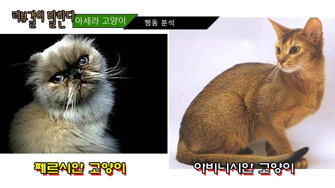페르시안 고양이 아비니시안 고양이