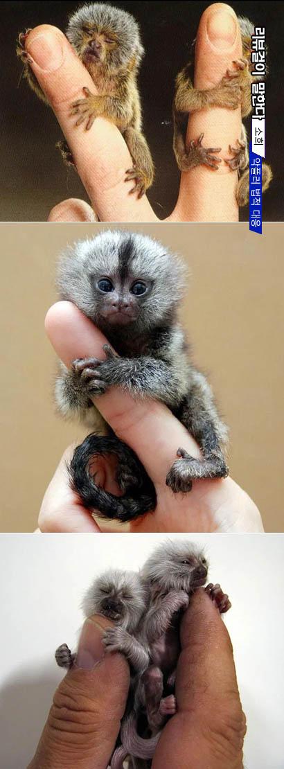 세계에서 가장 작은 원숭이 피그미 마모셋
