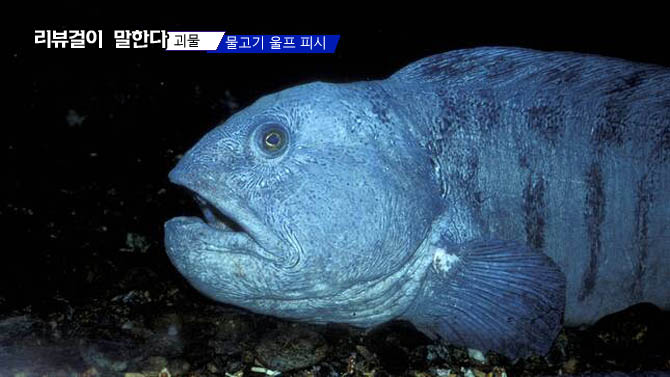 """괴물 물고기 울프 피시 정체 """"식용 물고기? 요리 흔적"""""""